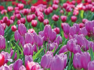 Tulipán je národní rostlinou Nizozemska i Turecka.