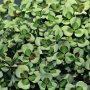 Na obrázku je jetel plazivý (Trifolium repens) 'Leonore', což ale není jediná odrůda okrasného jetele.
