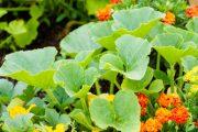 Zeleninu kombinujte s užitečnými druhy květin.