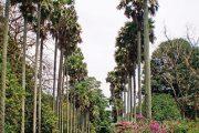 Celou botanickou zahradu protíná hlavní cesta Royal Palm Avenue.