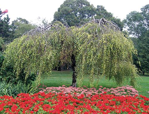 Jeden z nejoblíbenějších kultivarů břízy bělokoré (Betula pendula 'Youngii') vznikl v Anglii už v 19. století.
