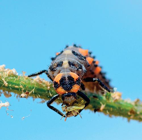 Přirození nepřátelé škůdců, například larvy slunéčka sedmitečného, jsou pro zahradu vždy šetrnější a zdravější než chemie.