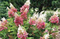 Poslední dobou se objevilo poměrně hodně nových odrůd hortenzie latnaté (Hydrangea paniculata). Jejich kultivarová jména jsou v některých případech stejně květnatá jako samotné rostliny, ale z řady těch nejhezčích vystupuje odrůda velice zvučného jména – něžná 'Pinky Winky'.