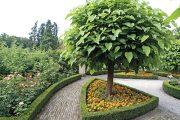Katalpa trubačovitá (Catalpa bignonioides) 'Nana' je oblíbeným stromem pro malé zahrady. Označení nana se vyplatí si zapamatovat, protože vyjadřuje, že rostlina, které patří, je malá až zakrslá.