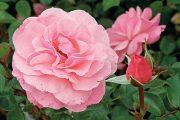 Růže 'Sexy Rexy' má růžové květy jako desítky či stovky dalších odrůd. Díky poněkud neobvyklému jménu ale na sebe upozorňuje více než jiné růže stejné barvy.
