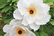 Pivoňky s velkými okázalými květy patří k oblíbeným rostlinám. Vědecké jméno Paeonia má kořeny v kultuře antického Řecka. Z latinského názvu vzniklo patrně i české jméno, které působí vzhledem k rostlině poměrně kuriózně.
