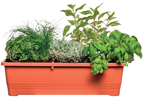Pro pěstování na menším balkoně nebo dokonce parapetu se hodí úzký truhlík Bergamot