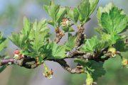 Nálet prvních mšic na rybíz může hodně poškodit jejich listovou plochu.