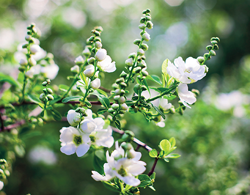 Bohatě kvetoucí keře, jako je třeba hroznovec, jsou nezbytnou součástí romanticky laděných zahrad.