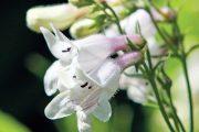 Dračíky jsou kupodivu příbuzné s jitrocelem a kvetou po řadu týdnů.