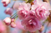 Sladce růžové květy typického střapatého tvaru se na jaře stávají předmětem skutečného sakurového turismu.