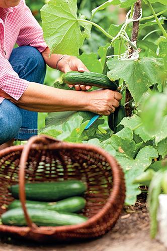 Okurky pěstované ve skleníku ohrožuje sviluška.