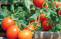 Nejchoulostivějším zeleninovým druhem je ten nejoblíbenější – rajčata.