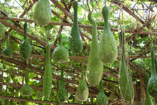Plody lagenárie dorůstají obdivuhodných rozměrů a tvarů.