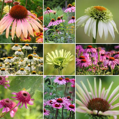 Škála barev, forem i tvarů květů je u třapatkovek opravdu bohatá.