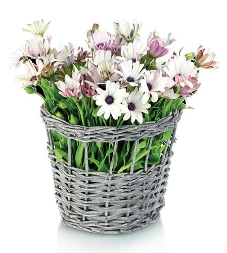 Proutěné košíky vyložené igelitem se využívají spíše jako obaly na květináče.