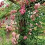 Pokud si tedy chcete vytvořit soukromé zahradní posezení, je pro vás řešením treláž popnutá těmito neúnavnými kráskami.
