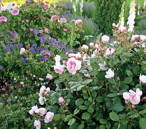 V romantické zahradě nesmí nikdy chybět královna květin – růže.