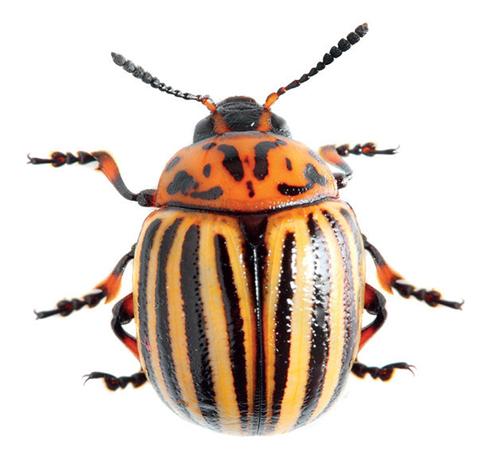 Proti mandelince vyzkoušejte biologickou ochranu v podobě přírodního insekticidního postřiku.
