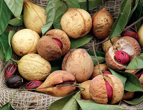 Zdrojem známého koření označovaného jako muškátový oříšek a muškátový květ jsou plody stálezeleného stromu Myristica fragrans.