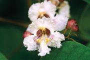 Seznam dřevin, které kvetou o prázdninách, je ve srovnání s pozdním jarem docela chudý. Kromě ibišku syrského se nabízí ještě katalpa.