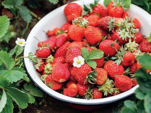 První sklizeň jahod už na zahradách pomalu končí, ale i tak můžete sklízet jahody až do října.
