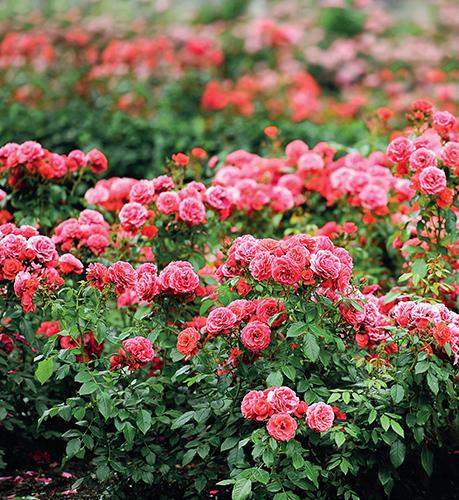 Královna květin dostojí svému jménu jen při pravidelné péči, která nekončí ani v létě.
