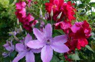 Květy růží a plaménků se skvěle kombinují.