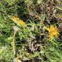 se kroutí a rostlina Herbicidem ošetřené listy zasychá.