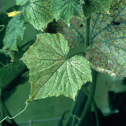 Ve skleníku je v létě horko a sucho, což vyhovuje sviluškám.
