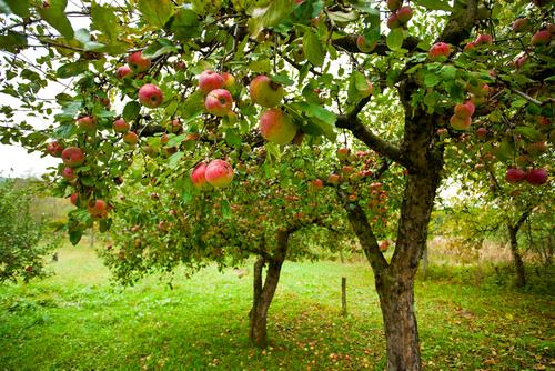 V jedlém lese se uplatňují také tradiční ovocné stromy.
