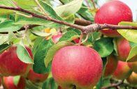 Jabloně – klíčem k úspěšnému pěstování jabloní je vhodná podnož.