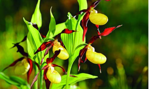 orchidej_1