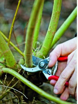 Mladé pruty se sklízejí jen v zimě, v době vegetačního klidu rostlin.