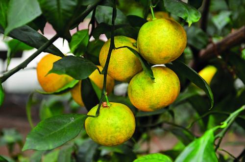 16 Citrus unshiu 'Miagawa' 2