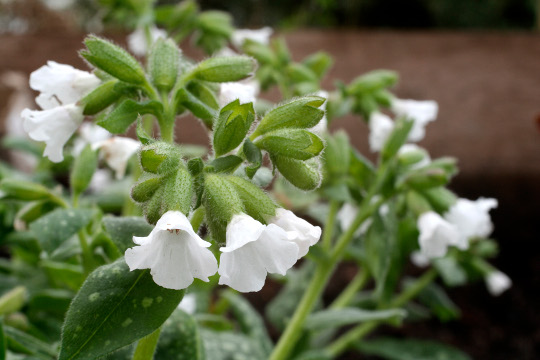 PULMONARIA 'SISSINGHURST WHITE' AGM