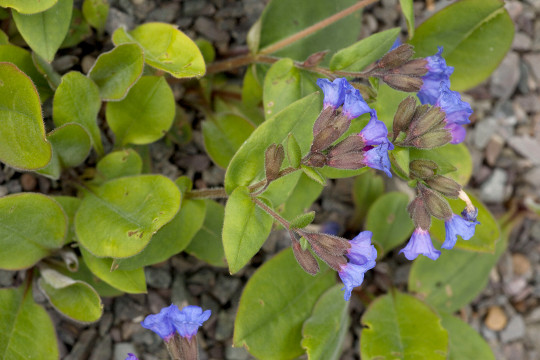A lungwort, native in Europe (not UK) (Pulmonaria angustifolia)     Date: