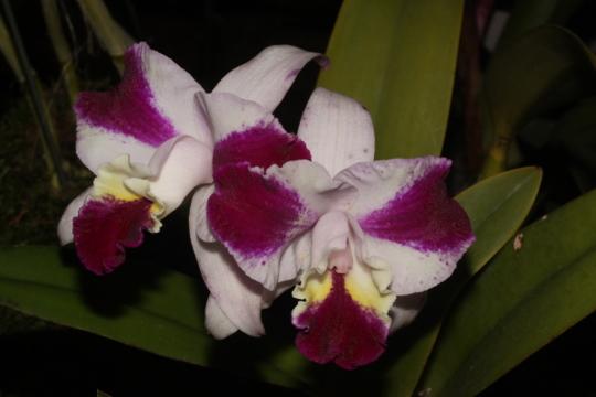 Laeliocattleya _Purple Cascade