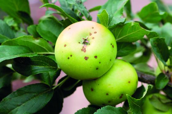 Málo vápníku způsobuje hořkou pihovitost jablek.
