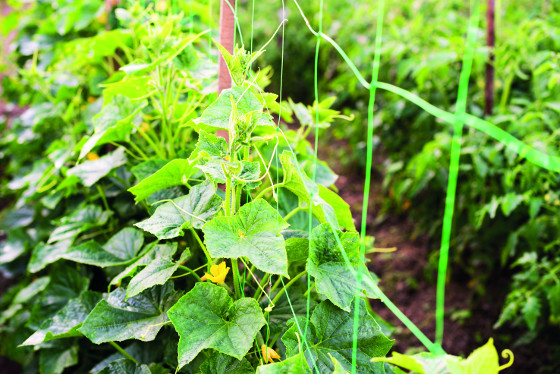 Okurky nakladačky byste měli pěstovat na sítích, jsou zdravější.