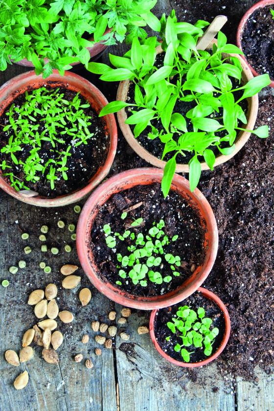 Odlišná velikost a tvar semen brání snadnému výsevu, protože vždy musíte postupovat trochu jinak.