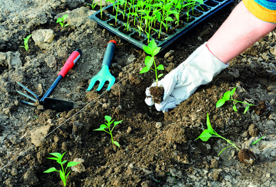 Na záhony buď sázíte mladé rostliny, nebo semena, která po vzejití musíte jednotit.