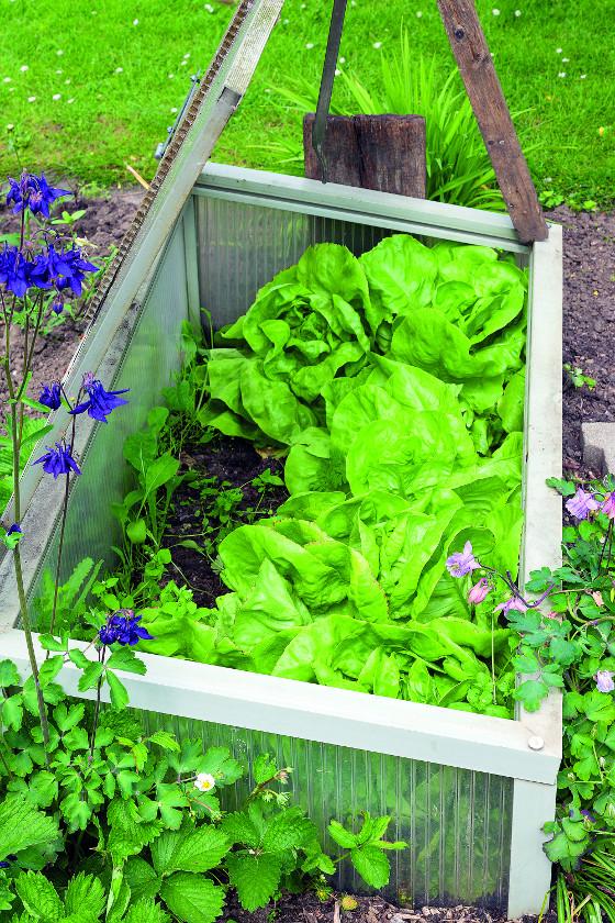 Pařeniště může poskytovat ještě lepší podmínky nežli skleník, pokud je dobře založené.