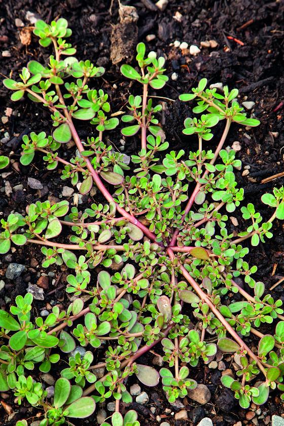 Listy šruchy zelné neboli portuláku jsou výborné do salátu.
