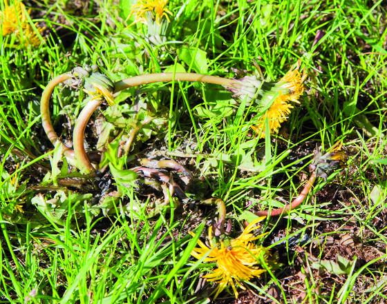 Vytrvalé plevele je nutné odstranit selektivním herbicidem