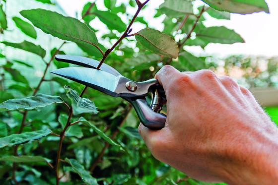 Ruční nůžkyx jsou vhodné pro tvarování dřevin s většími listy