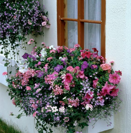 Lososově a bíle kvetoucí begónie se zajímavými tvary květů spolu s modrými lobelkami tvoří pestrou variantu vhodnou do polostínu.