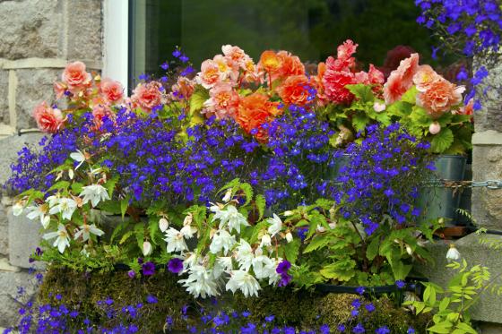 Netík, svěže zelená pokojová kapradina, může od jara do podzimu zdobit i okna, která nejsou vystavená slunečnímu úpalu.