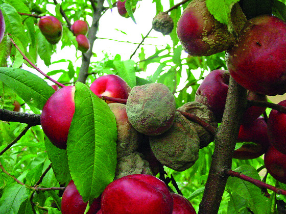 V hustých shlucích ovoce se šíří choroby