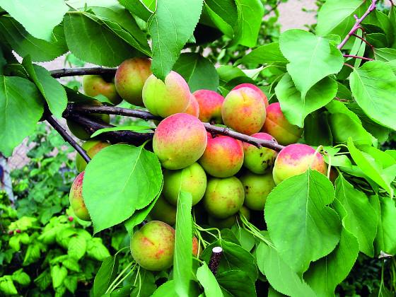 Plody v shlucích zůstavají drobné a špatně vyzrávají